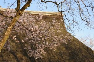 茅葺き屋根と桜2の写真素材 [FYI00315618]