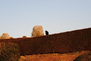 生垣のカラスの写真素材 [FYI00316002]