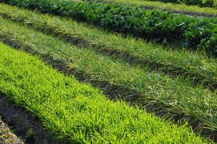 野菜畑-5の写真素材 [FYI00316010]