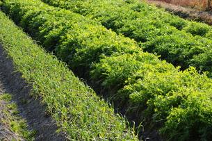 野菜畑-2の写真素材 [FYI00316014]