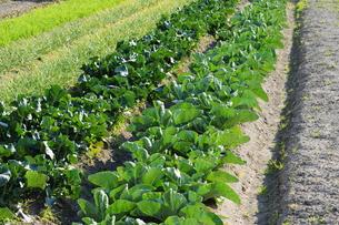 野菜畑-6の写真素材 [FYI00316019]