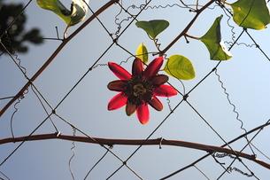 パッションフルーツの花-1の写真素材 [FYI00316297]