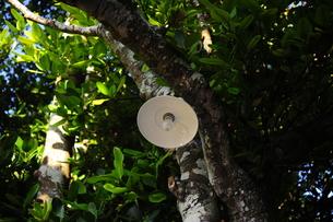 フクギ並木のランプ-1の写真素材 [FYI00316307]