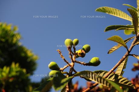 琵琶の木の写真素材 [FYI00316313]
