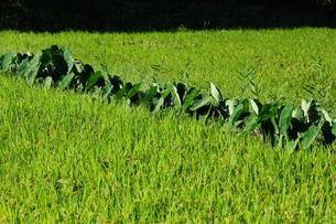 田んぼと里芋の葉の写真素材 [FYI00316577]