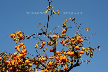 柿の木の写真素材 [FYI00316624]