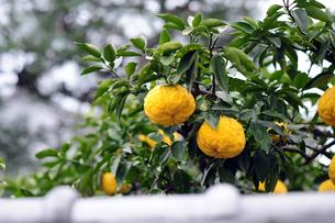 獅子柚子-3の素材 [FYI00316720]
