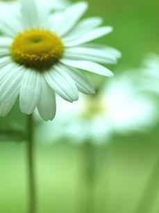 マーガレットの花の写真素材 [FYI00316779]