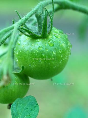 朝露にぬれるトマトの素材 [FYI00316784]