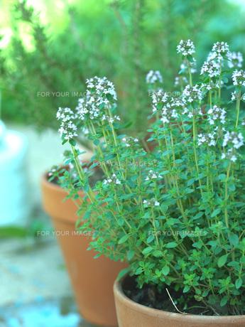 ハーブの鉢植えの写真素材 [FYI00316793]
