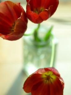 窓辺の赤いチューリップの素材 [FYI00316805]