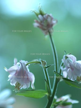 ピンクのオダマキの花の素材 [FYI00316827]