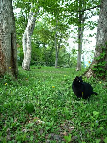 黒猫と森を散歩の写真素材 [FYI00316828]