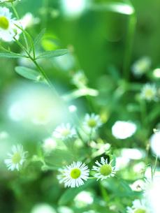 夏の日ざしとひめじょおんの花の写真素材 [FYI00316832]