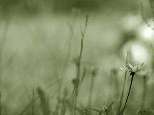 初夏の草原の一輪の花の素材 [FYI00316848]