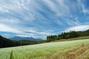 戸隠山と森に囲まれたそば畑、青空にすじ雲流れるの写真素材 [FYI00316850]