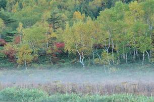 朝もやと秋の白樺林の写真素材 [FYI00316853]