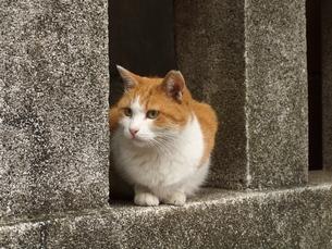 浅草の猫の写真素材 [FYI00316857]
