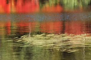 さざ波たつ湖面に映る紅葉と水草の写真素材 [FYI00316859]