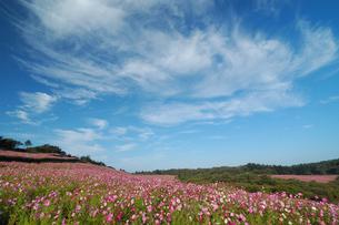 青空とコスモス園の写真素材 [FYI00316865]