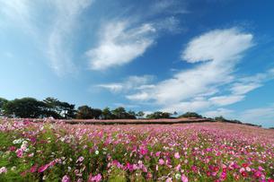 青空と白い雲とコスモス園の写真素材 [FYI00316866]