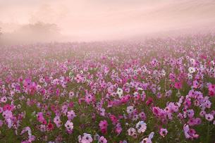 朝焼けに染まるコスモス園の写真素材 [FYI00316867]