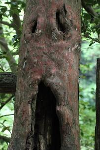 顔のある木の写真素材 [FYI00316879]