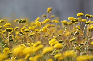 黄色い花の写真素材 [FYI00316886]