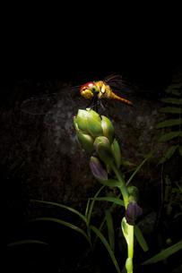 ナツアカネと植物の写真素材 [FYI00316888]