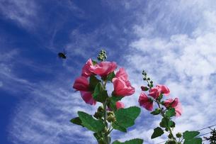 立葵とクマバチの写真素材 [FYI00316896]