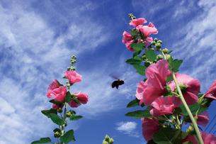 立葵と昆虫の写真素材 [FYI00316909]