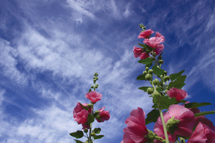 立葵と青空の写真素材 [FYI00316910]