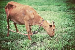 草を食べるヤギの写真素材 [FYI00316956]
