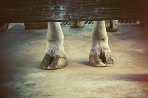 牛の足の写真素材 [FYI00316957]