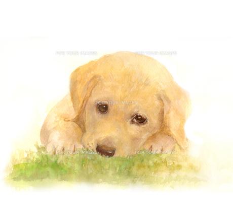 草むらからこちらをうかがうラヴラドールレトリバーの子犬の写真素材 [FYI00316959]