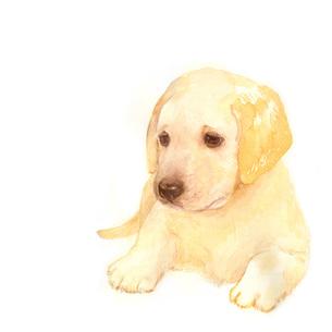 ラブラドールレトリバーの子犬の写真素材 [FYI00316962]