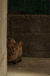 こちらを伺う猫の写真素材 [FYI00317016]