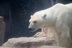 白熊の写真素材 [FYI00317436]
