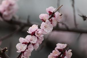 桃の写真素材 [FYI00317508]