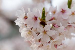 桜の写真素材 [FYI00317531]