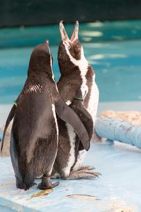 ペンギンの写真素材 [FYI00317604]