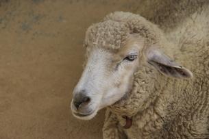 羊の写真素材 [FYI00317611]