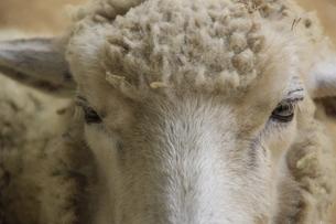 羊の写真素材 [FYI00317614]