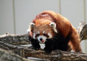 釧路動物園のレッサーパンダの写真素材 [FYI00317638]