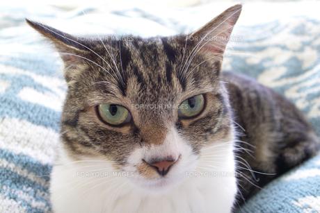 ネコの瞳の写真素材 [FYI00317719]