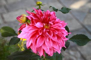 ダリアの花の写真素材 [FYI00318182]