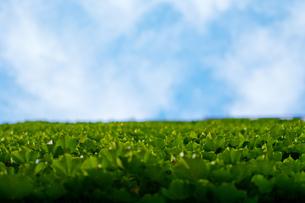 青空を目指す、植物の写真素材 [FYI00318243]