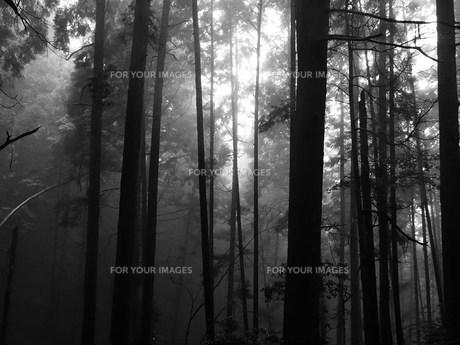 霧雨の木立 モノクロの写真素材 [FYI00318867]