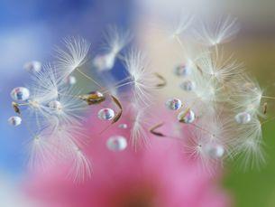 綿毛と水滴とパステルカラーの背景の写真素材 [FYI00318986]