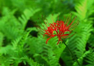 一輪のヒガン花 (赤)の写真素材 [FYI00319058]